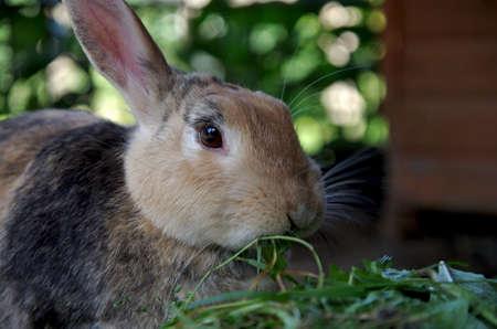 portrait shot of a brown rabbit against a green background, the rabbit is eating fresh grass Standard-Bild