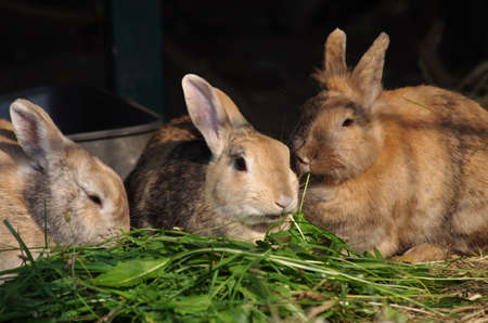 three brown rabbits are eating fresh grass in the light of the evening sun