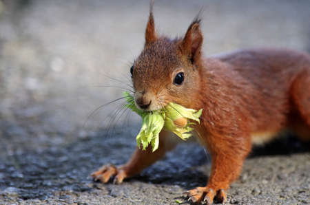 closeup of a squirrel with a nut in its mouth