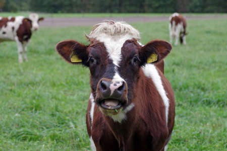 three young cattle are standing in a meadow, one animal is looking straight into the camera