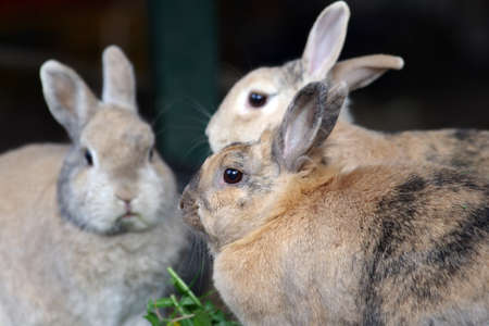 Fresh grass for three brown rabbits, the feed is shared together