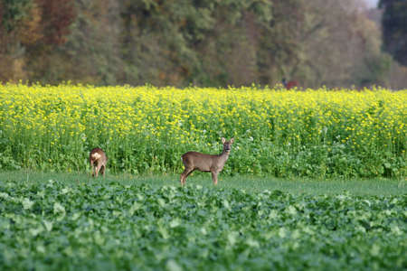 two deer grazing in the meadow, behind them is a yellow canola field
