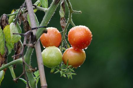 fresh tomatoes with raindrops. Ripe and unripe fruits hang on the bush. Standard-Bild