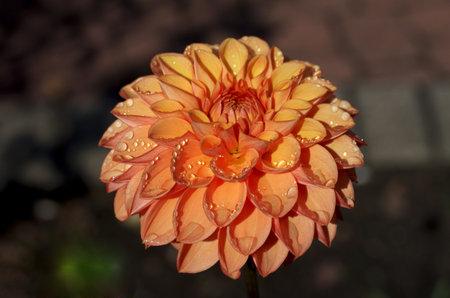 orange dahlia with raindrops, pretty bloom in summer