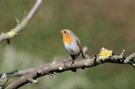 the robin with its typical orange-red color on its chest, the little songbird is a frequent guest in our gardens