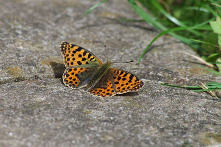 an orange-colored, small butterfly is sitting on the ground and has spread its wings