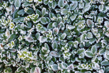 the hedge of a boxwood covered with frost in winter