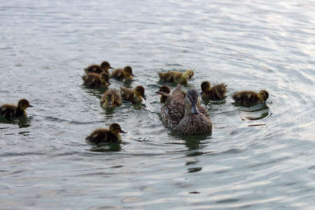 the duck family swims in the lake