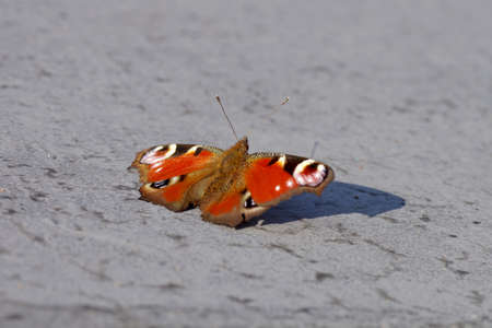 a colorful butterfly sunbathes with outstretched wings