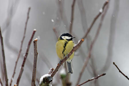 it is snowing and a great tit is sitting on a branch
