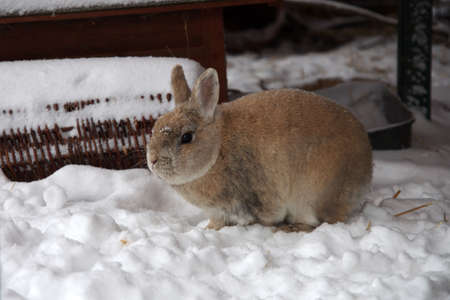 little brown rabbit sits in the snow