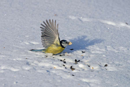 a bluetit has found food in the snow