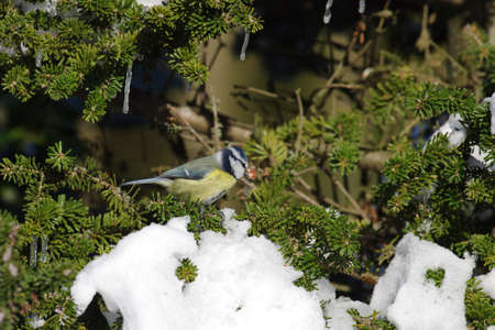 the little tit is sitting on a fir branch and has a nut in its beak