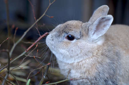 portrait of a cute rabbit nibbling on branches