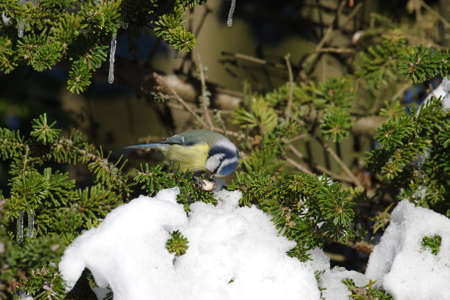 blue tit in winter, in snow and ice, finding forage is difficult