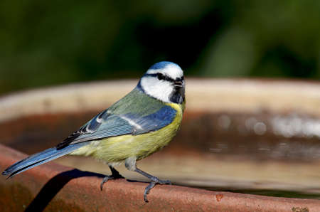 a blue tit with a slightly open beak looks straight into the camera