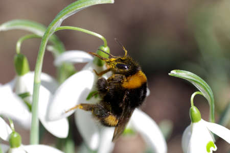 a bumblebee collects pollen from the snowdrops Standard-Bild
