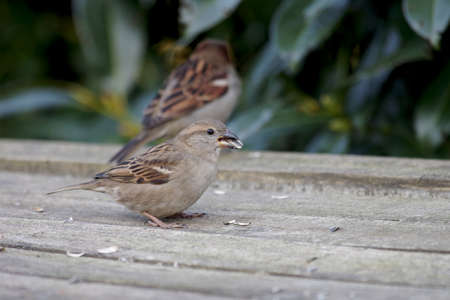 two sparrows on the garden table are eating sunflower seeds