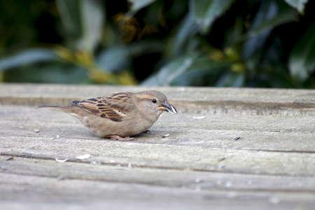 a sparrow picks up sunflower seeds
