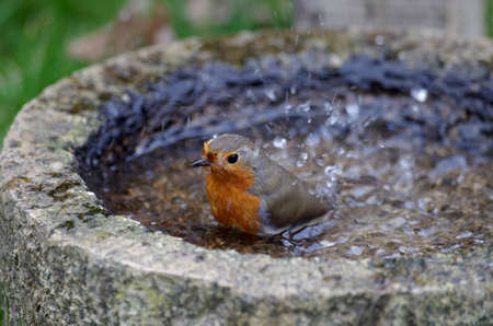 the bird bath for drinking and bathing, the robin lets the water splash Standard-Bild