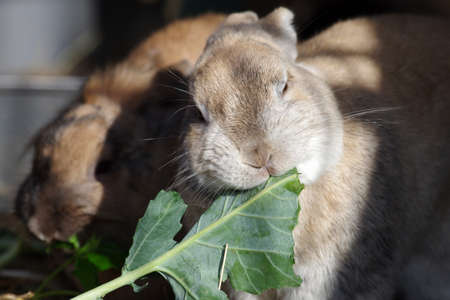 cute rabbit eats cabbage leaves
