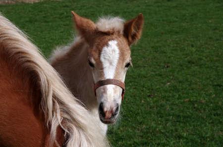 Portrait of a young foal in the meadow Standard-Bild