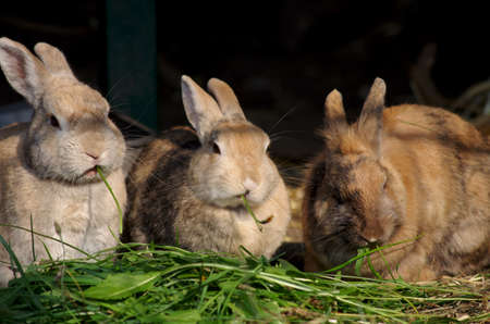 three cute rabbits are illuminated by the evening sun and eat fresh green leaves