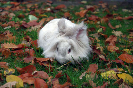 a white rabbit is sitting in a meadow with autumn leaves Standard-Bild