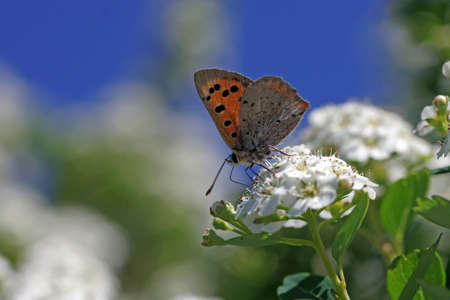 macro shot of the small copper butterfly in front of the blue sky