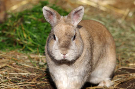 a brown domestic rabbit looks curiously into the camera with posed ears Standard-Bild
