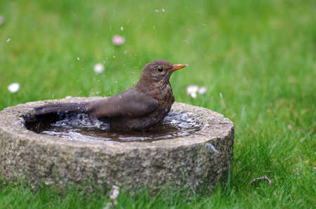 while the blackbird is bathing in the bird bath, it splatters all the water