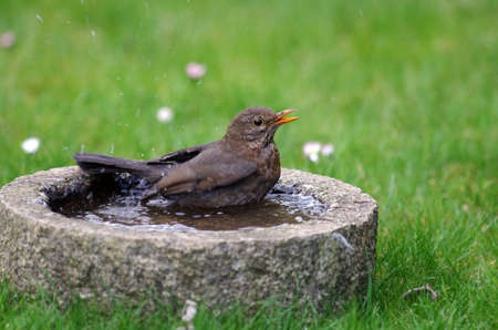 a female blackbird sits in the water of the bird bath