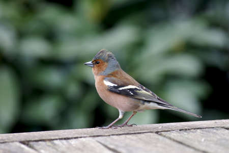 the male chaffinch in spring, a close-up