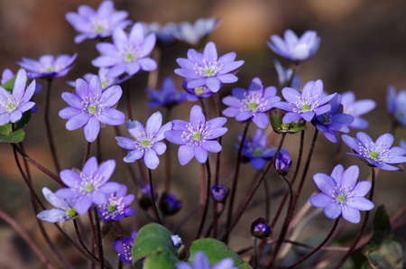 the pretty, purple flowers of the liverworts can be found in the forest in early spring