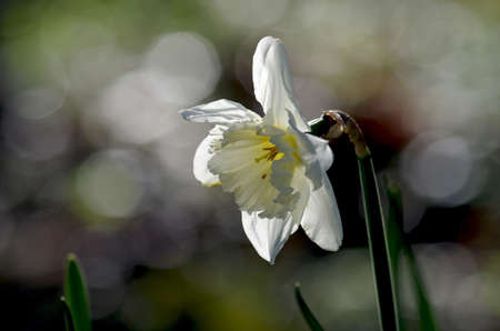a white daffodil with a nice bokeh in the background