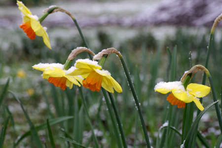 yellow narcissus covered with snow in spring
