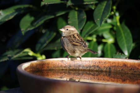 the little sparrow sits on the bird bath in the sunlight