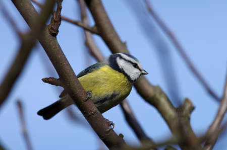a single tomtit is sitting on the branches of the tree