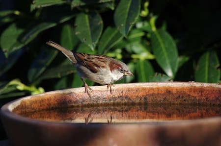 a male sparrow sits thirsty on the bird bath