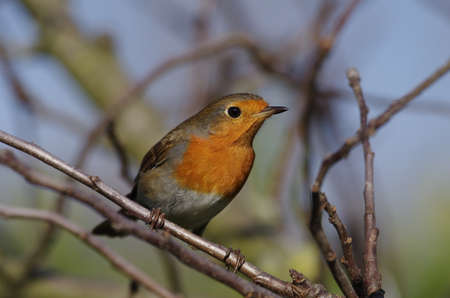 the robin, a close-up of the colorful songbird Standard-Bild