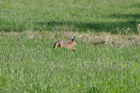 the brown european hare runs across a meadow with spring flowers