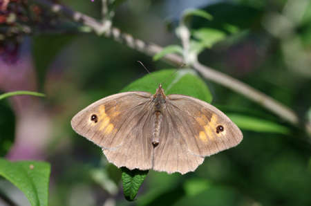 a large butterfly shows its pretty drawing on its outstretched wings
