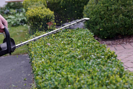gardening in spring. the evergreen hedge is pruned with hedge shears Standard-Bild