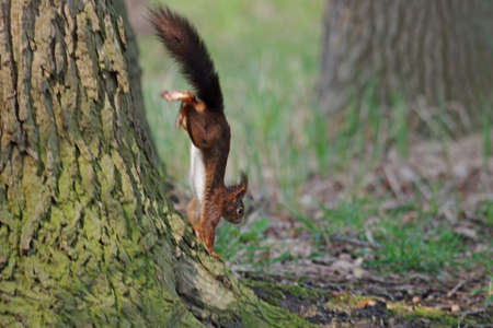 a squirrel is running quickly down a tree