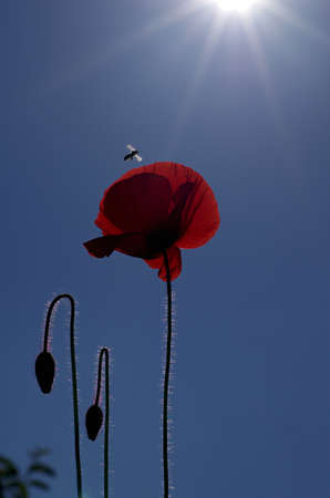 red poppy with bee against blue sky with sun