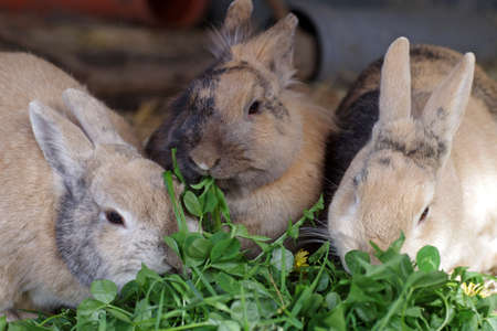 The rabbits like to eat fresh clover and three domestic rabbits eat the leaves