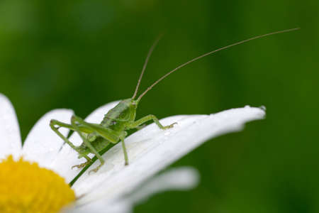 a small green grasshopper with lots of points (climbing locust)
