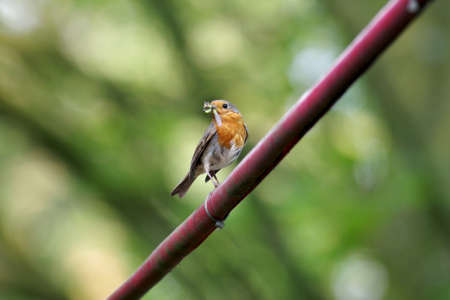 the little robin has its beak filled with insects for its offspring