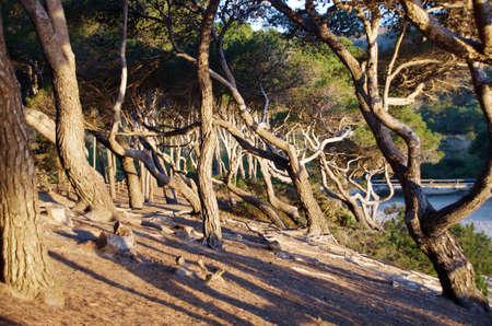 crooked pine trees on the sandy beach of mallorca Standard-Bild