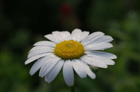 close up of a flower of white marguerite with raindrops Standard-Bild